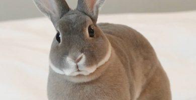 conejo enano Rex de color gris