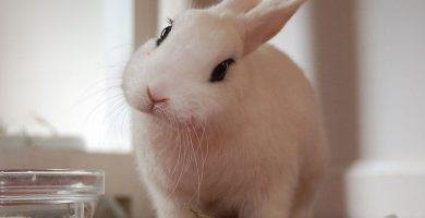 conejo enano de raza hotot