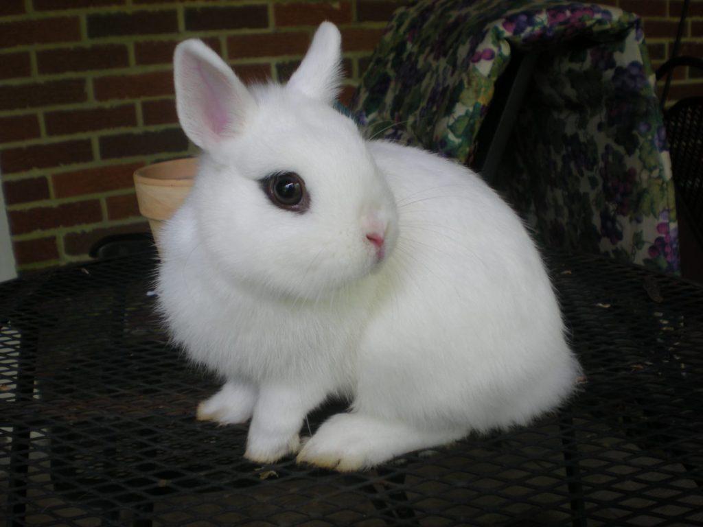 foto de conejo enano de raza Hotot blanco con ojos negros