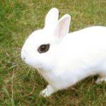 Los conejos NO son roedores, son lagomorfos.
