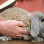 Como cepillar el pelo de un conejo