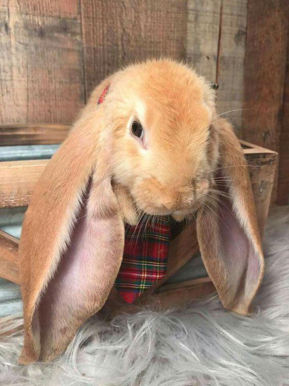 Conejo English Lop - Conejo de orejas caidas