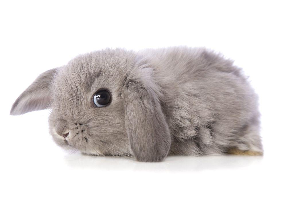 Conejo-bebé-gris