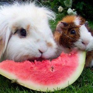 Conejo-comiendo-sandia
