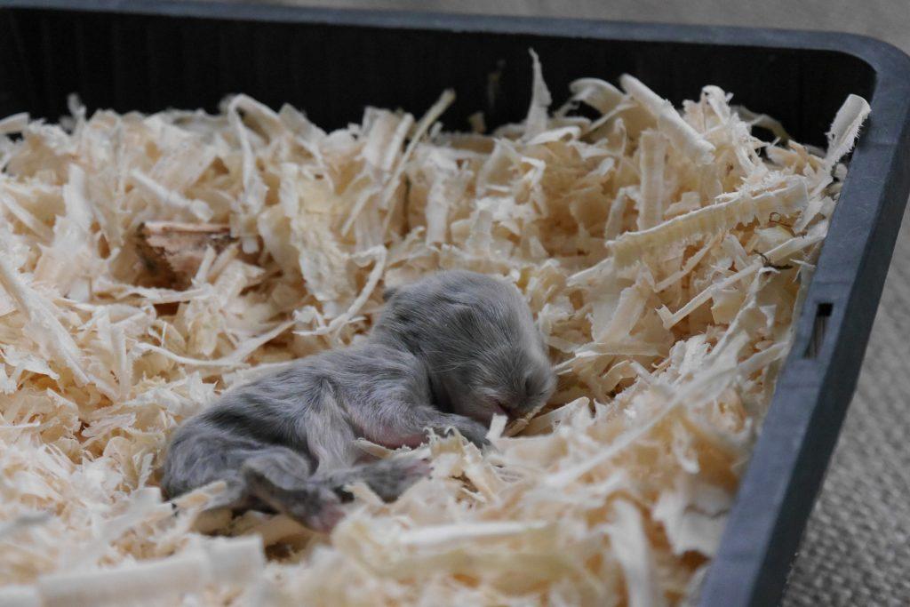 Conejos bebés - gazapo gris