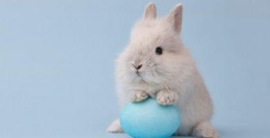 Conejo toy caracteristicas y cuidados