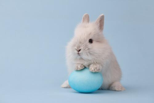 Conejo toy - características y cuidados