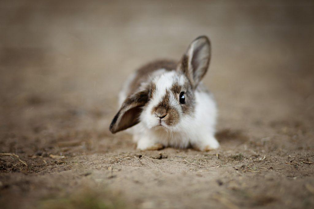 Conejos enanos - Razas y cuidados