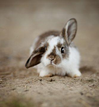 Conejos-enanos-conocce-todo-sobre-ellos