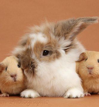 Relación entre conejos y cobayas
