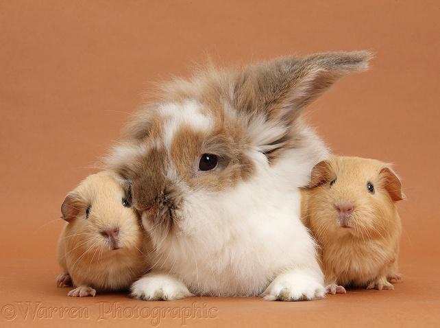 Relación de Conejos y cobayas