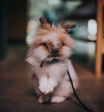 ¿Por qué mi conejo orina blanco?